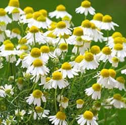 chamomile tea flowers