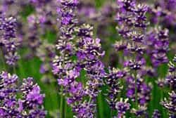 purple lavender tea flowers