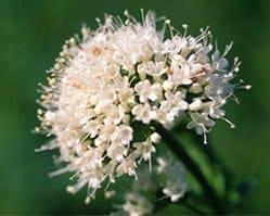 valerian tea flower