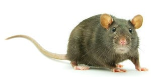 image of a rat used in a sleep deprivation experiment