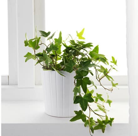 10 Plants That Might Help You Sleep on common names of indoor plants, common household plants, kinds of ivy, common indoor houseplants, english ivy, common ground cover ivy, plectranthus swedish ivy, common houseplants care of,