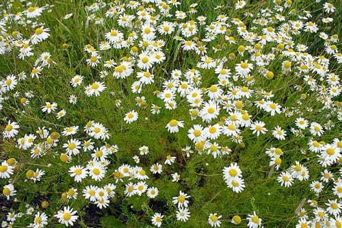 german chamomile growing in a field